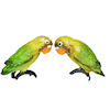 Pair of Green and Yellow Lovebirds