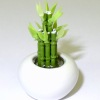 Lucky Asian Bamboo Plant in Ceramic Bowl
