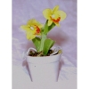 Potted Miniature Cattleya Orchid (Small)