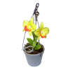 Cattleya Orchid In Hanging Pot