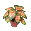 Handcrafted Caladium Elephant Ear Plant in Pot