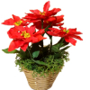 Handcrafted Wilhelmina Poinsettia Plant in Golden Basket