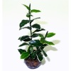 Wilhelmina Handcrafted Rubber Tree Floor Plant