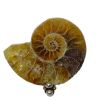 Mounted Natural Fossil Specimen - Polished Ammonite